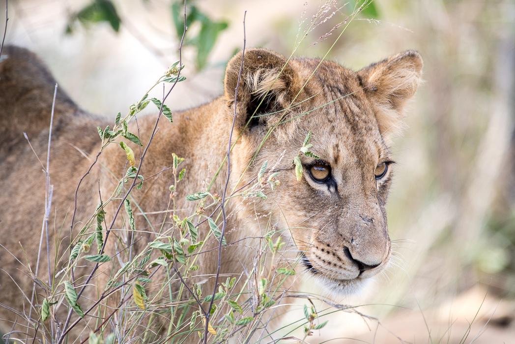 Stacie Flinner Sabi Sabi Selati Camp Kruger-44.jpg